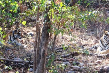 Spirits up for the tigers: Unsung heroes from a conservation project